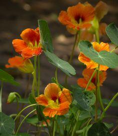 Nasturtium Flowers look gorgeous in the garden.