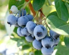 A guide covering edible berries of the Pacific Northwest () including Oregon, Washington, and British Columbia. Carrion Flower, Camping In Georgia, Growing Blueberries, Solomons Seal, Edible Mushrooms, Prickly Pear Cactus, Living Off The Land, Veg Garden, Wild Edibles