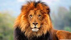 Google Image Result for http://lionssharedigital.com/wp-content/uploads/2013/04/Lion.jpg