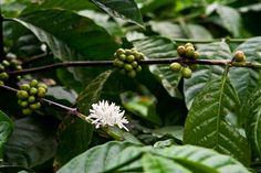 coffee flower