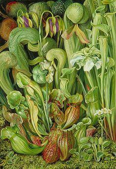 Carnivorous Plants. Clockwise from top right: Darlingtonia californica (cobra lily), Sarracenia flava (the yellow pitcher plant), Dionaea muscipula (venus flytrap), Sarracenia  purpurea (purple pitcher plant).