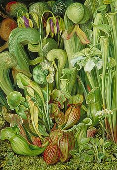 stilllifequickheart:  Marianne North North American Carniverous Plants 19th century