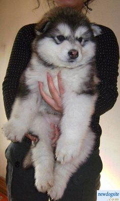 Download Samoyed Chubby Adorable Dog - 567e06bd88e26af708c794fb223c9c38--am-in-love-i-am  Pic_201079  .jpg
