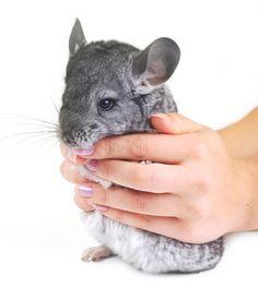 Chinchilla Health & Illness Guinea Pig Toys, Guinea Pig Care, Reptile Cage, Reptile Enclosure, Hammock Diy, Bearded Dragon Vivarium, Chinchilla Care, Pocket Pet, House Rabbit