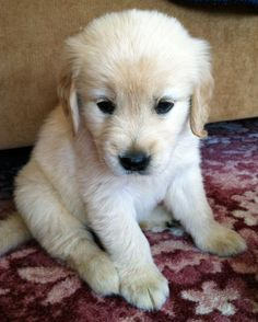 splashduck collection of cute adorable animal pictures and related websites. Buddy the Golden Retriever