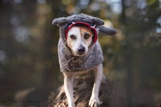 Halloween - The Big Bad Wolf - by Heavenly Pet Photography #dog #dogs #pets #photographer #terrier