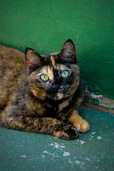 tortie. Bootsie! Well almost she does have two color eyes but they are green and brown