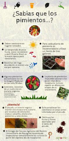 Información básica sobre los pimientos dulces, requisitos de siembra y mantenimiento. Creado por: Perla Alessandra Hernández Negrón para Agrochic.com
