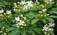 Fragrant Flowers. Mexican orange blossom (Choisya ternata) Superb rounded evergreen shrub with1 inch white star shaped flowers in late spring, again in fall; shade or part shade; 6 by 6 feet; Zones 7-10.