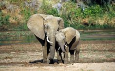 African Elephant (Loxodonta africana) mother and calf, Sambru National Reserve, Kenya Mother And Baby Animals, Mother And Baby Elephant, Cute Baby Elephant, Elephant Elephant, Elephant Habitat, Elephant Images, Elephant Pictures, Animal Pictures, Free Pictures