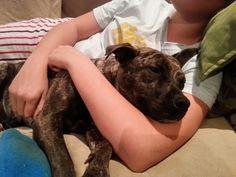 Elsa.  Snuggle bug.  English staffordshire bull terrier.  Foster rescue dog.  Sweet girl.