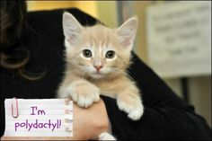 Warning! These kittens are so cute, it hurts to look at them. And they are polydactyl!