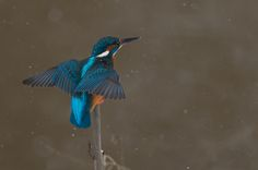 Kingfisher is snowing by Lutz Wilke
