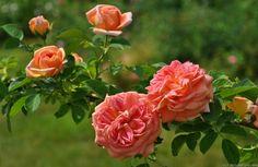 'Alchemist' Rose Photo taken from HelpMeFind user Marina's Rose Garden, Amelia, VA