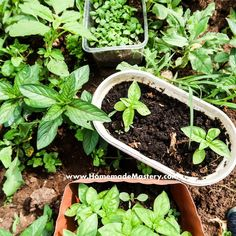 How To Dry Mint For Tea and Cooking - Homemade Mastery
