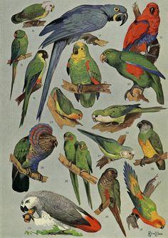Matted Antique Parrot Print C.1920  by AntiquePrintBoutique