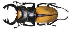 Odontolabis lacordairei (Vollenhoven, 1861) Male