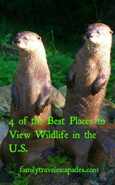 River Otters found in many of the U.S. parks and wildlife refuges; one of which is The Land Between the Lakes In Kentucky
