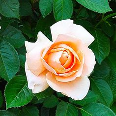 'Abbaye de Cluny' is fast-growing, repeat-blooming hybrid tea rose with big, spicy-scented apricot blooms and strong upright stems perfect for cutting. Grows 3 to 4 feet tall and wide in Zones 5-10. | thisoldhouse.com