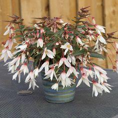 Easy To Grow Houseplants Clean the Air Bossa Nova® Pure White Tuberöse Begonensamen,