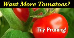 Tomato Pruning how to prune tomato plants for maximum yield - Pruning tomato plants for maximum yield, get more tomatoes, larger fruit, that ripens quicker. We share [HOW TO PRUNING DETAILS] Tomato Plant Care, Pruning Tomato Plants, Tomato Growers, Tomato Seedlings, Tips For Growing Tomatoes, Growing Tomatoes In Containers, Grow Tomatoes, Baby Tomatoes, Dried Tomatoes