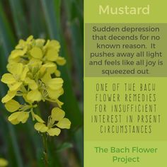 Bach Flower Remedy - MUSTARD