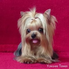 The Popular Pet and Lap Dog: Yorkshire Terrier - Champion Dogs Yorky Terrier, Yorshire Terrier, Bull Terriers, Yorkies, Yorkie Puppy, Mini Yorkie, Teacup Yorkie, Yorkshire Terrier Haircut, Yorkshire Terrier Puppies