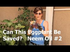 Can this eggplant be saved? How to use Neem Oil to control chewing and sucking insects - a second application is needed for this infestation! Make sure to watch the first video for mixing/application instructions. Garden Bugs, Edible Garden, Organic Gardening Tips, Vegetable Gardening, Best Perennials, Neem Oil, Hobby Farms, Aquaponics, Growing Vegetables