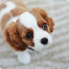 Cavalier King Charles pup.  Oh, my.