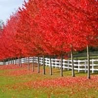 Autumn Blaze® Red Maple Hardy, Fast-Growing Maple with Lasting Fall Color Autumn Blaze (Acer fremanii) is prized as the fastest growing Maple tree with a hardy nature and brilliant color. Red Oak Tree, Red Maple Tree, Trees And Shrubs, Trees To Plant, Autumn Blaze Maple, Fast Growing Trees, Shade Trees, Fall Pictures, Garden Trees