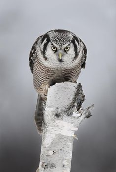 Northern hawk-owl. xox