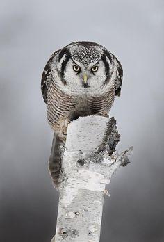 Northern hawk-owl. xox
