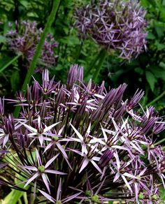 Allium cristophii works really well with Aquilegia 'William Guiness'
