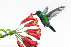This Green-crowned Brilliant (Heliodoxa jacula) is a large robust hummingbird that is a resident breeder in the highlands from Costa Rica to western Ecuador.
