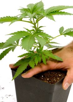 Growing Weed, Growing Herbs, Weed Plants, Marijuana Plants, Cannabis Plant, Medicinal Plants, Ganja, Gardens, Natural Cosmetics