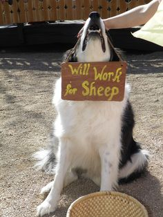 Unemployed Border Collie :)  If it was only for cows....