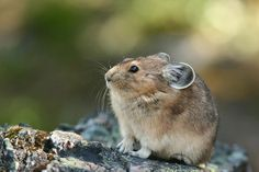 Pika | Pika From the family, Lagomorpha. These animals are closely related to rabbits.