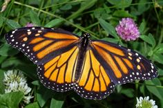 The CELESTIAL Convergence: GLOBAL FOOD CRISIS: European Vampirism And Gene Mutations - Monarch Butterfly Decline Linked To The Spread Of Genetically Modified (GM) Crops In The United States...Milkweed essential to monarchs in decline because of herbicides used with GMO's. This past winter, monarch butterfly numbers at the wintering grounds in Mexico fell to their lowest levels since records started being kept in 1993 -  6/9/2014