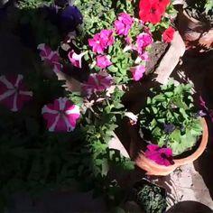 Pitunia Flowers, Hafsa's Garden, sunny morning. 10am, 12th January/15.
