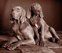 weimaraner best dogs ever Weimaraner, Doberman, Fox Terrier, Cairn Terrier, Boston Terrier, Love My Dog, Puppy Love, Clumber Spaniel, Bearded Collie
