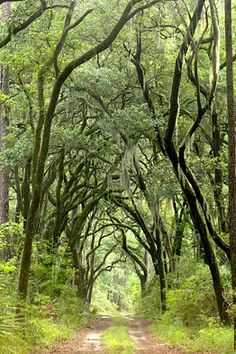 Canopy of giant oak trees draped in Spanish moss, walking trails at the Inn at Palmetto Bluff in Bluffton, S.C.