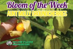 Aunt Molly Ground Cherries - Bloom of the Week at Golden Plains Greenhouses (Kleefeld, Manitoba) Cherry Blooms, Companion Planting, Greenhouses, Cherries, Aunt, Vegetables, Plants, Food, Green Houses
