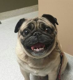 Tug the Pug who set the record for longest lasting smile (ALL YEAR, HE SMILED ALL YEAR.)