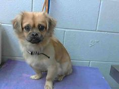 SAFE --- #A473816 Release date: 10/10 I am a male, tan and black Pekingese mix. Shelter staff think I am about 1 year old. I have been at the shelter since Oct 03, 2014.   If I am not claimed, after my stray holding period, I may be available for adoption on Oct 10, 2014.... City of San Bernardino Animal Control-Shelter. https://www.facebook.com/photo.php?fbid=10203669997688053&set=a.10203202186593068&type=3&theater