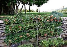 Espalier Trees - Three Tier Cordon Fruit