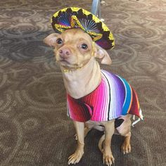 Tuna {breed:chiweenie}: Now that's a sombrero! Thank you cute gift shop at the Phoenix airport. Tuna Dog, Dog Crossbreeds, Tuna Melts, Pugs, Chihuahuas, Smiling Dogs, Little Dogs, Cute Gifts, Dog Training