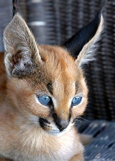 """The caracal is a medium sized cat which it spread in West Asia, South Asia, and Africa. The word Caracal is from Turkey """"Karakulak"""" which means """"Black Ears"""". Here is all about caracal as a pet. Small Wild Cats, Big Cats, Cats And Kittens, Cute Cats, Animals And Pets, Baby Animals, Funny Animals, Cute Animals, Wild Animals"""