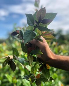 Bay (Laurel) leaf 🍃 is a native plant to the Mediterranean climate. We support small scale farmers in Georgia 🇬🇪 by sourcing premium select quality. Laurel Leaves, Native Plants, Farmers, Nativity, The Selection, Georgia, Plant Leaves, Scale, Spices