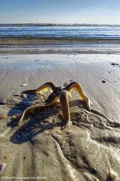 .Starfish walking back to the water Flagler Beach.