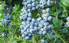 Fruit Trees, Fruit Plants & Fruit Bushes in North Georgia   Jaemor Farms